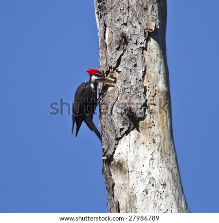 The pileated woodpecker (dryocopus pileatus) is now believed to be the largest North American woodpecker.