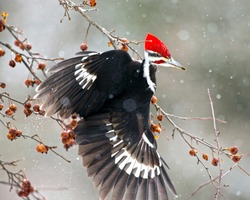 The pileated woodpecker is a woodpecker native to North America. This insectivorous bird is an inhabitant of deciduous forests in eastern North America, the Great Lakes, the boreal forests of Canada,