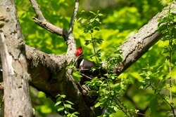 The pileated woodpecker sitting on a dry tree.