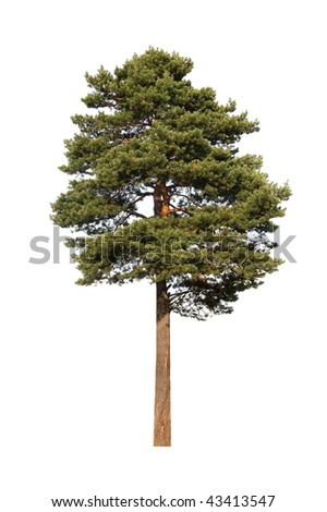 The pine is isolated on a white background