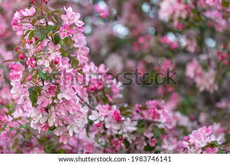 The pink apple tree Rudolph, which blooms in May, is a pink apple tree. Plenty of bloom. The crown is lush and is characterized by the thickness of leaves and inflorescences Stock photo ©