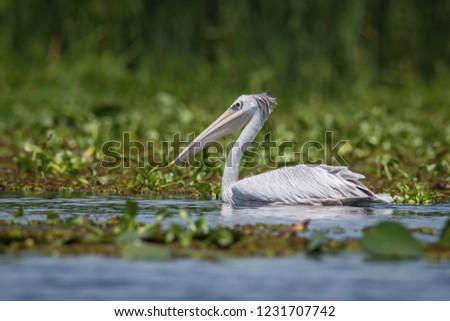 The Pink-backed Pelican or Pelecanus rufescens is floating on the surface of the lake. Afrika. Uganda. Nice green environment of Uganda wildlife