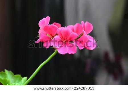 stock-photo-the-pink-bloom-of-a-geranium-224289013.jpg