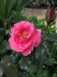 The pink China rose,Rose is the beautiful flowers and have a sensual fragrance then has been called