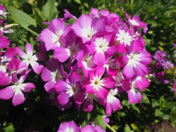 The pink flowers is blooming  in the garden at Chiengmai Thailand