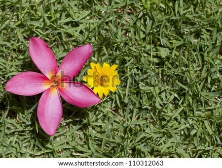 The pink frangipani on green grass background