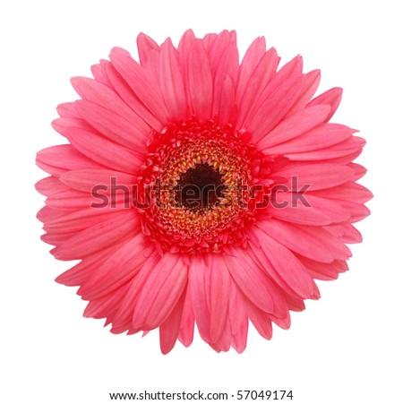 the pink gerbera