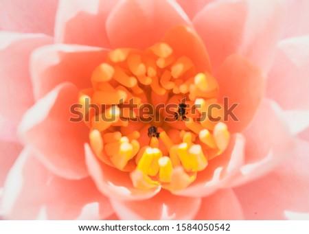 the pink lotus flower in macro view, macro of flower