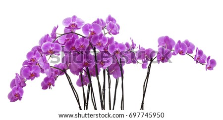 The pink  orchid phalaenopsis on white background isolated