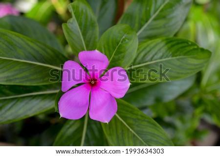 The Pink sadabahar, Catharanthus roseus