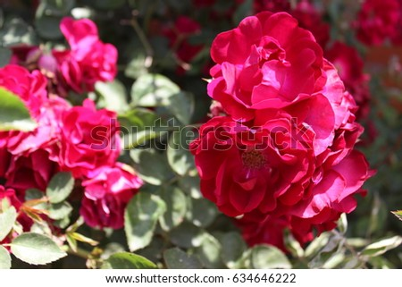 The pink shrub rose #634646222