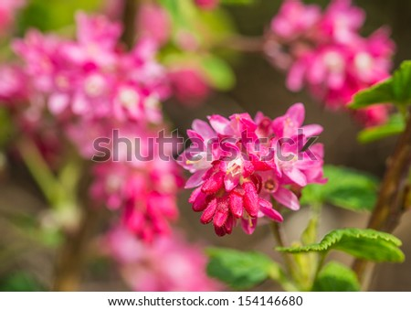 The pink springtime blooms of a flowering currant bush ez canvas the pink springtime blooms of a flowering currant bush mightylinksfo