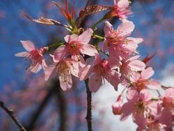 The pink thailand sakura flowers are blooming at Khun Chang Kian Chiengmai,Thailand