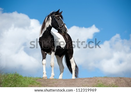 the pinto horse with blue sky background behind