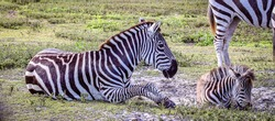 The plains zebra (Equus quagga, formerly Equus burchellii), also known as the common zebra, is the most common and geographically widespread species of zebra.