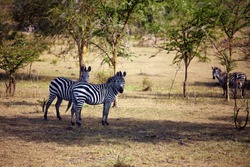 The plains zebra (Equus quagga, formerly Equus burchellii), also  the common zebra or Burchell's zebra in the forest. Zebras in the shade of thorny acacias.