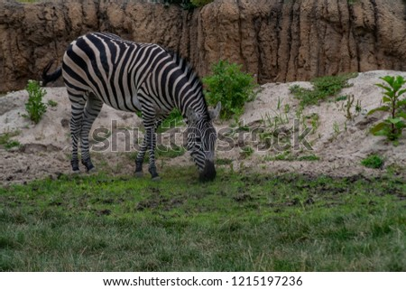 The plains zebra is the most common species of zebra #1215197236