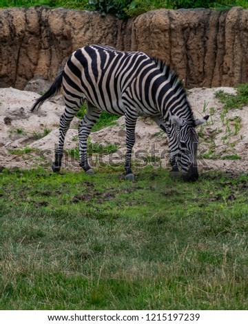 The plains zebra is the most common species of zebra #1215197239