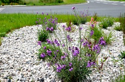 the plant blooms purple, smells sweet, one is a biennial to perennial herb with gray narrow leaves The pleasant aroma attracts moths. in a flowerbed with stones and light pebbles resembles sage