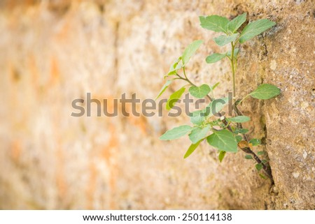 The plant grows to a stone wall. Life makes its way through the stone wall. Green plant broke through the stone wall.