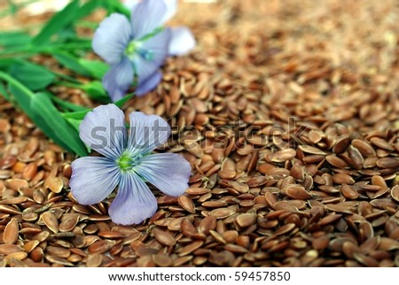 the plant of flax from blue flowers on seeds