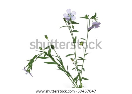 the plant of flax from blue flowers on white background