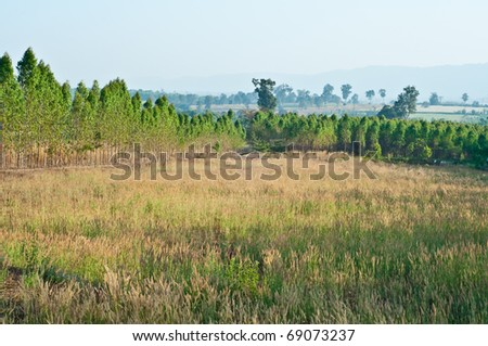 The Plantation of Eucalyptus for paper industry - stock photo