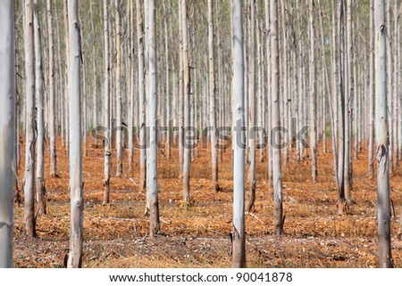The Plantation of Eucalyptus for paper industry