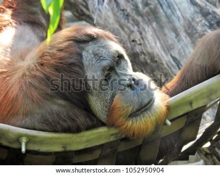 The playful Orangutans #1052950904