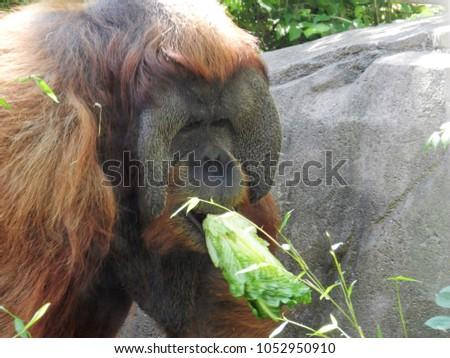 The playful Orangutans #1052950910