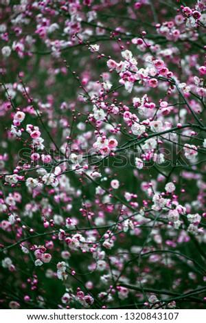 The plum blossom #1320843107