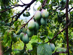 The plum fruit on the branch with the leaves on the tree, green, immature plums. In the orchard.