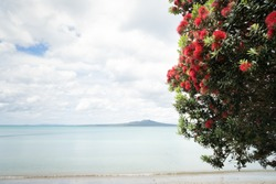 The Pohutukawa tree which is also called the New Zealand Christmas tree in full bloom at Takapuna beach, with blurred Rangitoto Island in the distance