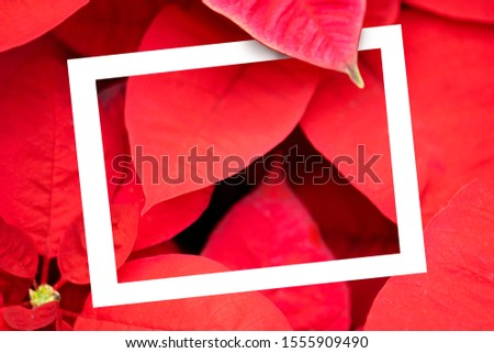 The poinsettia red flower with White frame.  The Flower of the Christmas, red Christmas background. Creative layout Top view. Nature concept