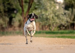 The Pointer, sometimes called the English Pointer, is a medium-sized breed of pointing dog developed in England.