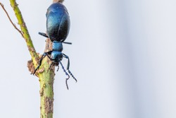 the poisonous purple oil beetle climbs around on a branch