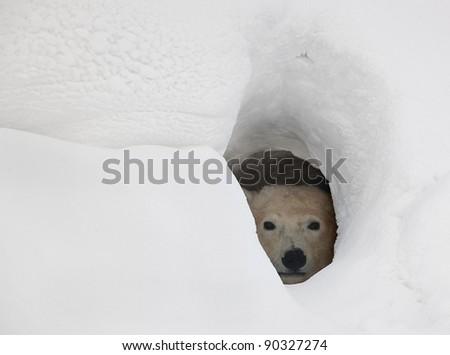 The polar bear looks out of a snow den - stock photo