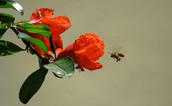 The Pollinator is carrying the pollen to Pomegranate flower, Pollination.