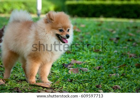 The Pomeranian dog stands in the lawn lovingly. #609597713