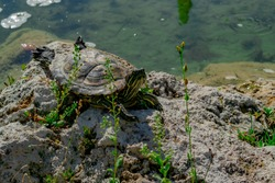 The pond slider turtle (Trachemys scripta) is basking in the sun on a rock in a pond.  Horizontal stock image.