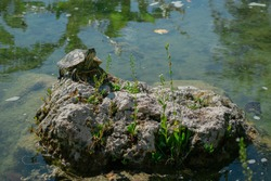The pond slider turtle (Trachemys scripta) is basking in the sun on a rock in a pond. Stock image.