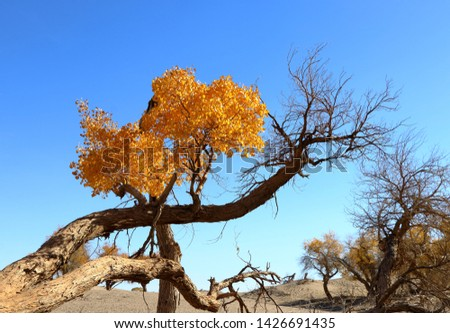 The poplar tree (Populus euphratica, or Huyang in Chinese), is the only tree species known to be able to survive the extreme conditions of the desert. It is a symbol of perseverance and endurance.