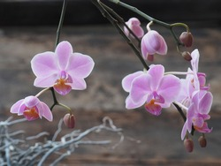 The popular orchid Phalaenopsis pink.This fantastic beautiful plant is characterized by its floral splendor, multiple branches, many flowers and the bloom with brown background blur
