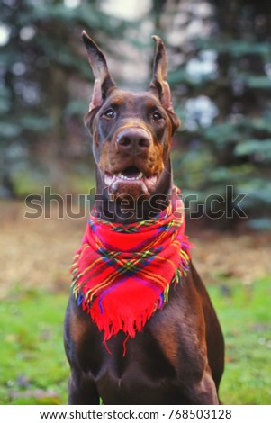 The portrait of a brown Doberman dog with cropped ears posing outdoors with a red shawl on its neck #768503128