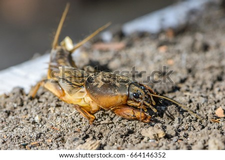 The portrait of a large insect living in the land - gryllotalpa, which is a dangerous pest in agriculture. #664146352