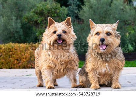 The portrait of a pair Norwich Terriers in a garden. Brown dogs. Terriers. #543728719