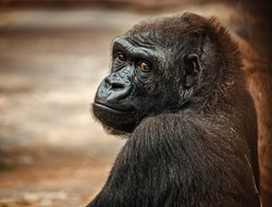 The portrait of a young gorilla