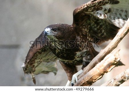 The portrait of Common Buzzard