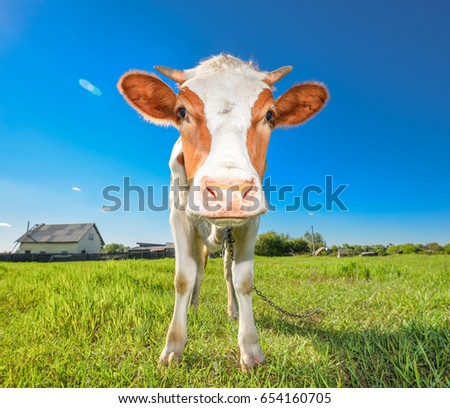 the portrait of cow on the...
