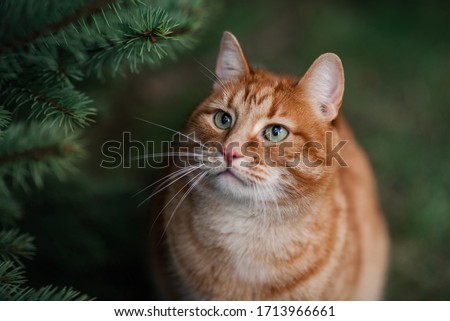 The portrait of ginger cat. The cat is sitting on the grass near fir tree. The cat has big green eyes. Image with selective focus.